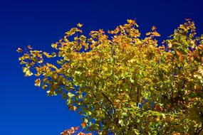 colorful Autumn Leaves at deep blue sky