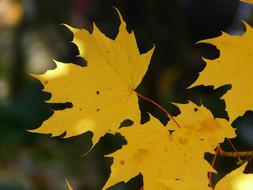 yellow maple leaves on a branch in autumn