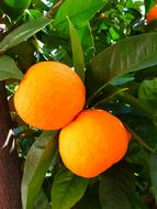 Oranges Tree and Leaves