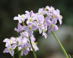 Cuckoo Flower, Smock close up