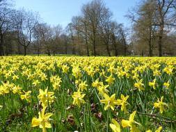 unusually beautiful Daffodil Field