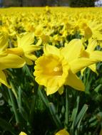 unusually beautiful Daffodils