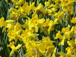incredibly beautiful Daffodils