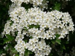 incredibly beautiful white Pear Blossom
