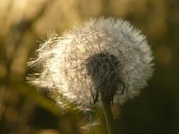 ravishing Dandelion Seeds Flower