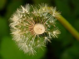 ravishing Dandelion Seeds