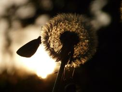 magnificent Dandelion Seeds sun