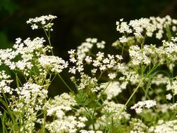 extraordinarily beautiful Cow Parsley Chervil