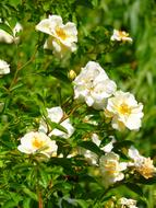 White Rose, Blooming shrub
