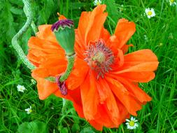 extraordinarily beautiful Poppy Blossom