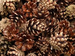 fabulous Pine Cones Wood