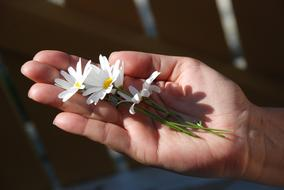 three white daisies lie on the palm of your hand