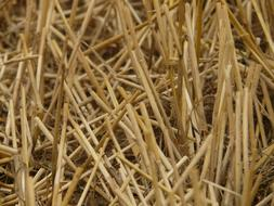 dry stalks of cereals on the field