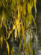 Willow Leaves green yellow