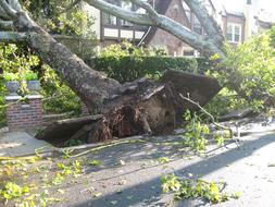 Trees Uprooted by Tornado on street
