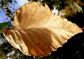 macro photo of a light brown autumn leaf
