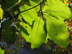 sunlight plays on beech leaves