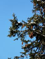 Spruce tree branches with cones