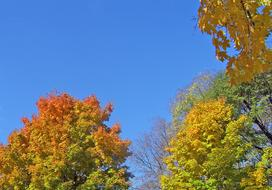 maple trees in sunny day