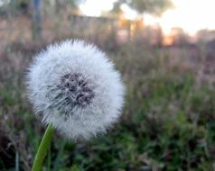 ravishing Dandelion Breeze Wind
