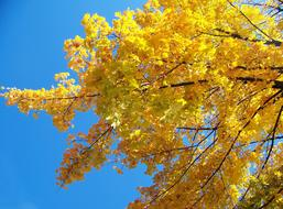 Yellow Maple Tree and blue sky