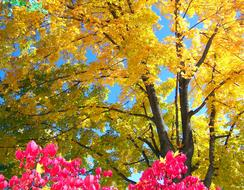 pink flowers on a background of yellow autumn tree