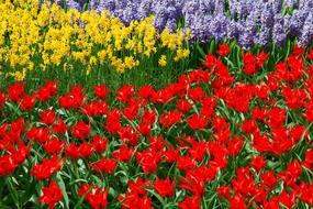 Daffodils red yellow violet