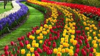 wonderful tulip Red yellow orange