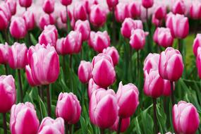 ravishing Purple tulips