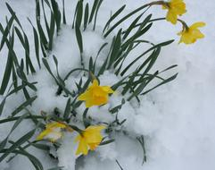Flowers Daffodils Snow winter