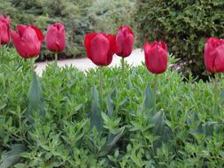 red Tulips in row on flower bed