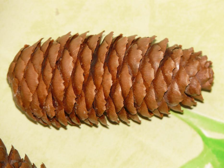 brown Pine Cones Fir Tree