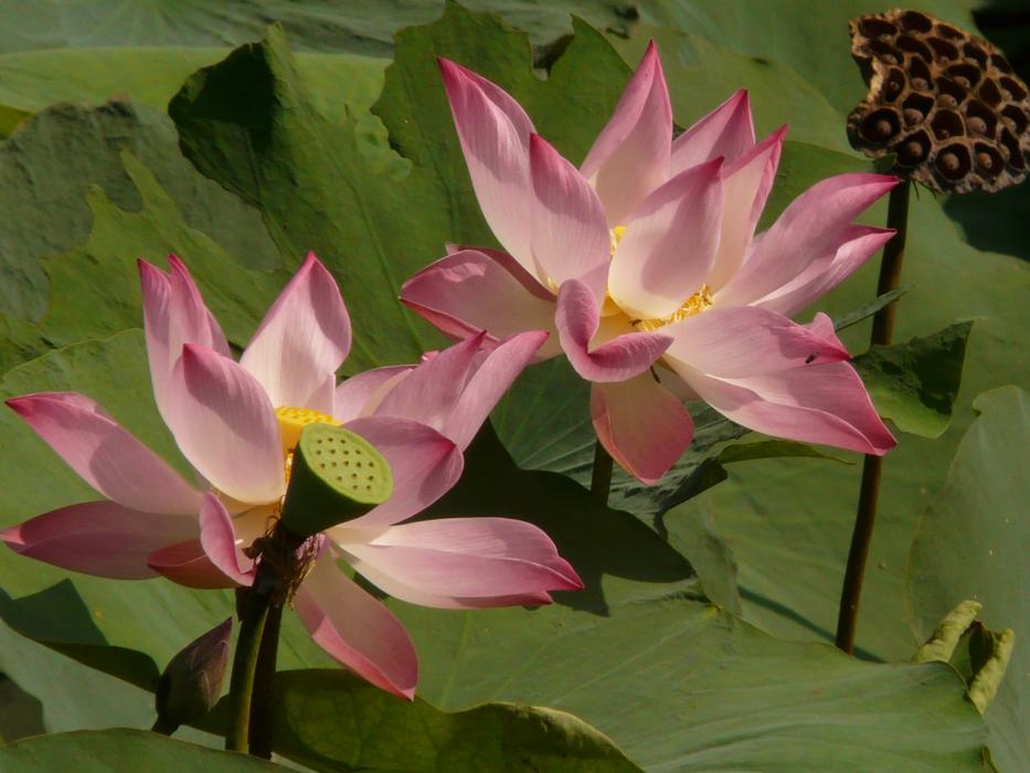 pink yellow Lotus Blossom