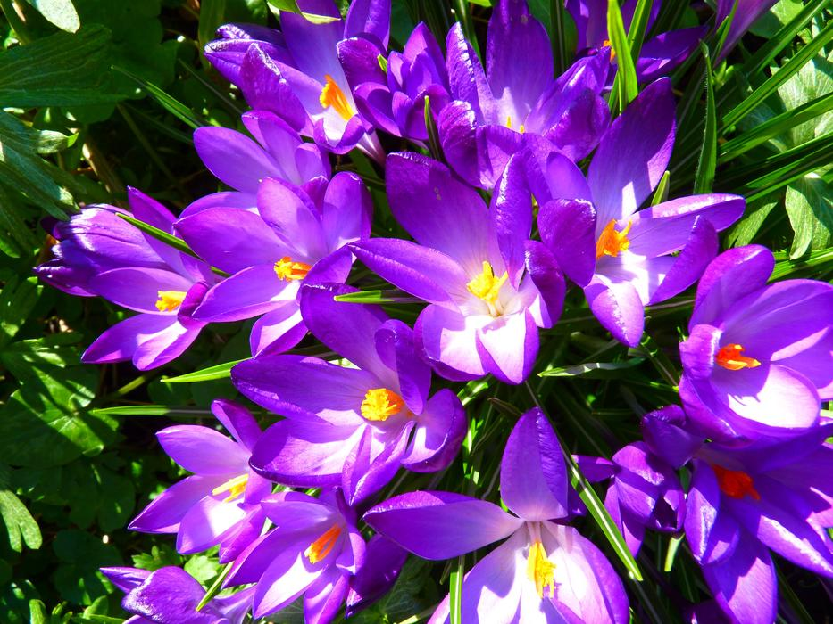 ravishing Crocus Flower Spring