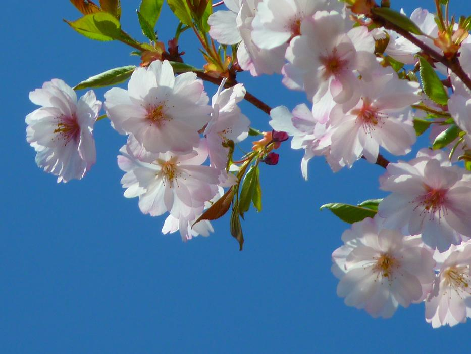 Blossoms of Japanese Cherry Tree at sky