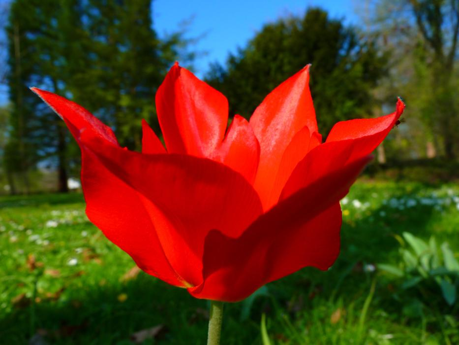 absolutely beautiful Tulip Red Flower