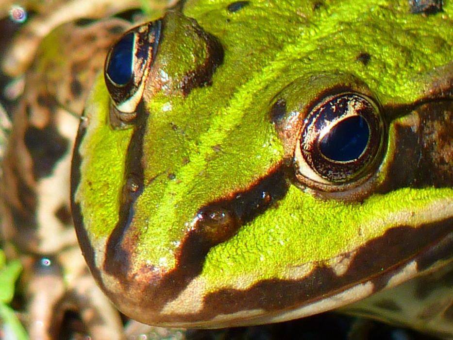 green frog with bulging eyes close up