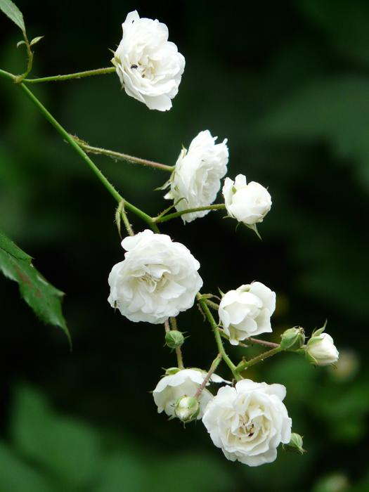 Rose White Shrub