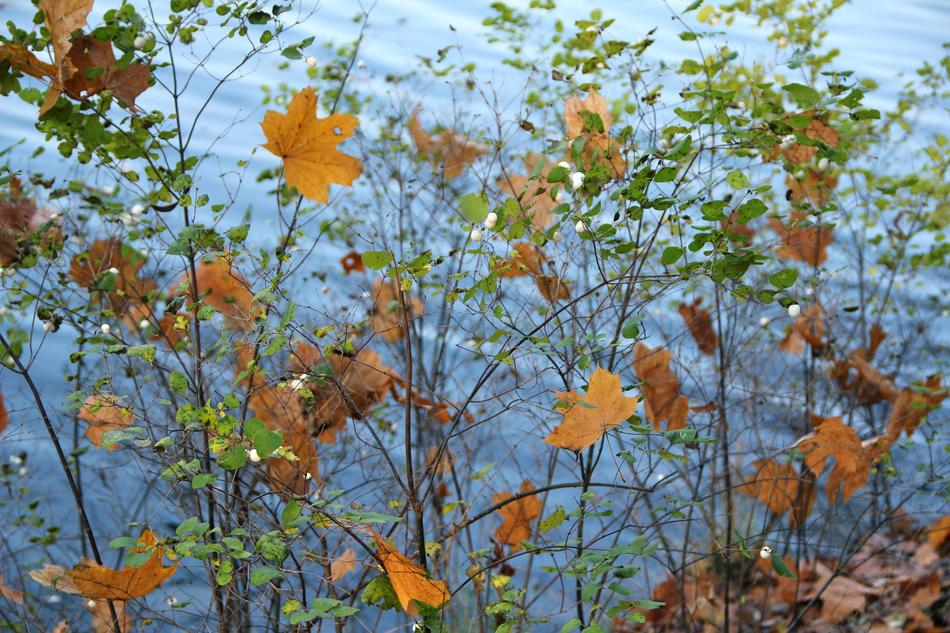 Autumn Bush Leaves yellow