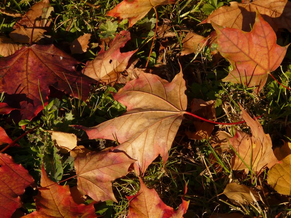 red-brown maple leaves on an autumn lawn
