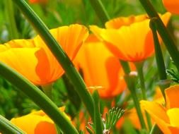 orange Iceland Poppy Papaver
