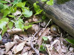 Snail and dry leaves