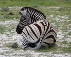 Zebra is resting on the lawn in Namibia