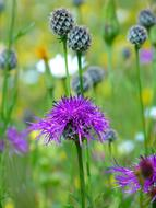 extraordinarily beautiful Knapweed Violet Pointed