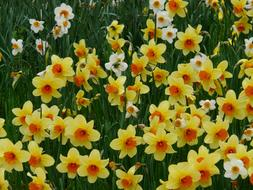 Daffodils Yellow white orange