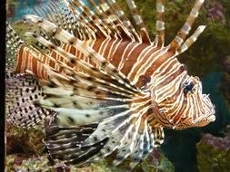 Lionfish Pacific