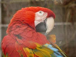 Green Macaw Parrot Dark Red