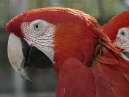 Green Macaw Parrots Red face
