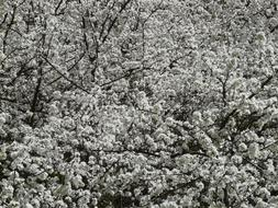 Blackthorn Prunus black and white