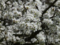Blackthorn Prunus Spinosa Hedge